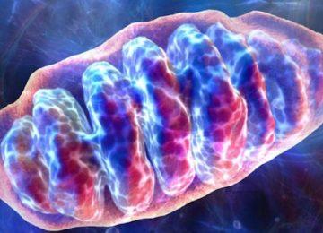 Come rallentare l'invecchiamento mantenendo giovani i tuoi mitocondri